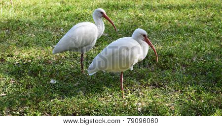Ibis Pair in the Grass