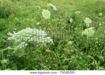 Queen Anne's Lace White Wildflower Growing In Midwest United States Meadow