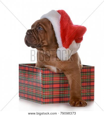 christmas puppy - dogue de bordeaux as a christmas gift on white background - 5 weeks old