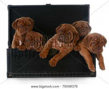 litter of puppies - five week old dogue de bordeaux pups in a trunk on white background