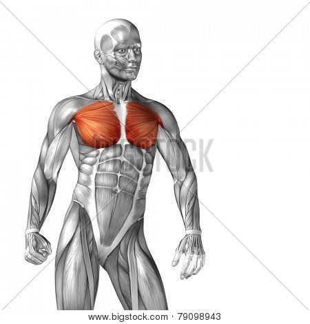 Concept or conceptual 3D pectoralis or chest human anatomy or anatomical and muscle isolated on white background