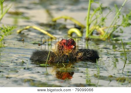 coot with chicks on the lake in summer (fulica atra)