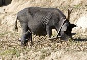 picture of pig-breeding  - Big pig on a farm - JPG