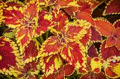 foto of begonias  - Red and yellow begonia plant - JPG