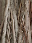 stock photo of root-crops  - detail shot of some wooden roots seen in Sri Lanka - JPG