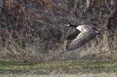 stock photo of canada goose  - Canada Goose Flying Across the Autumn Woods - JPG