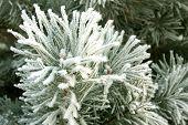 foto of conifers  - Winter landscape the Hoarfrost on a conifer - JPG