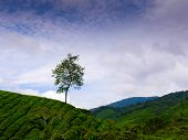 stock photo of cameron highland  - A single tree stands watch over tea plantations on Cameron Highlands - JPG