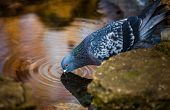 stock photo of pigeon  - Pigeon drinking water from a tiny pond in a park in spring  - JPG