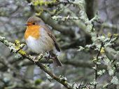 stock photo of lichenes  - Robin perched on lichen covered branch during a cold day in  December - JPG