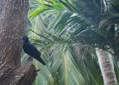 stock photo of raven  - Black raven in tropical tree Southern Province Sri Lanka Asia - JPG