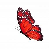 stock photo of flying-insect  - Beautiful red butterfly flying isolated on white background - JPG