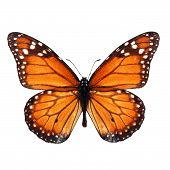 stock photo of monarch  - Beautiful monarch butterfly isolated on white background - JPG