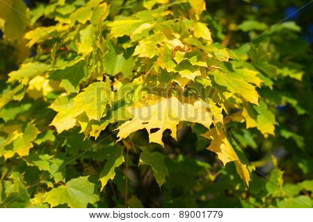 Yellow Maple Leaves On Tree