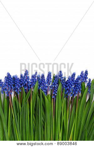 First Blue Springs Flowers Muscari Border Isolated On White Background