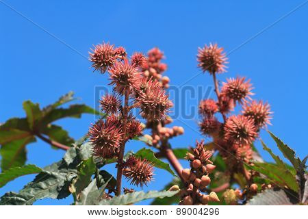 Castor Oil Plants With Fruits On A Sky Background