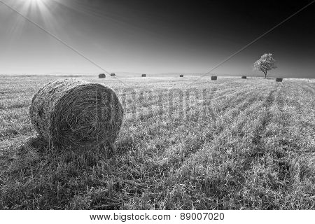 Haystacks Of Straw Scattered On The Field After Harvest