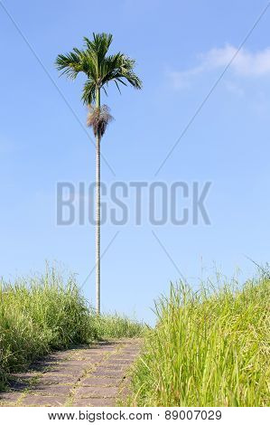 Lonely Palm Tree Near Walking Trail In Ubud, Bali, Indonesia