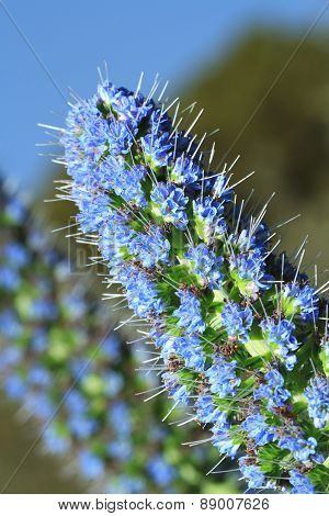 Beautiful Flowers Echium Fastuosum In Garden Closeup