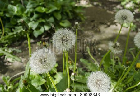 White balls of fluff dandelion in grass