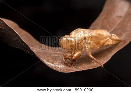 Husk Of Cicada - Cicada Molting with macro closeup