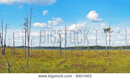 Dry Pine Wood On Northern Bog