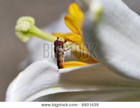 Flor Fly