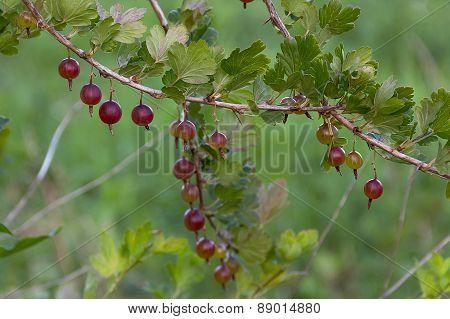 Branch of ripe gooseberry
