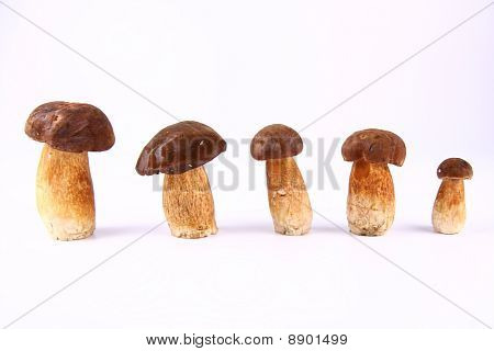 Xerocomus mushrooms