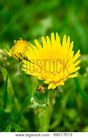 Yellow Bud Of Flowering Dandelion