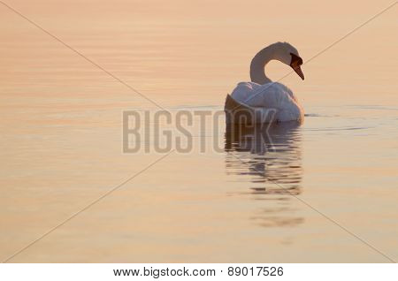 Elegant White Swan At Dawn Of Sea Bay