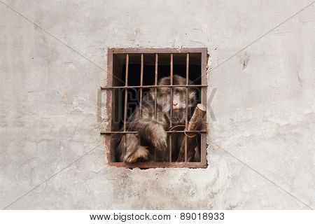 Despairing monkey in a cage