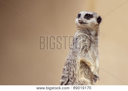 Soft focus Meerkat portrait standing guard looking away