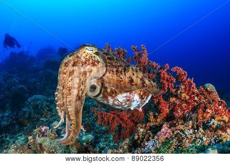 Cuttlefish And Diver