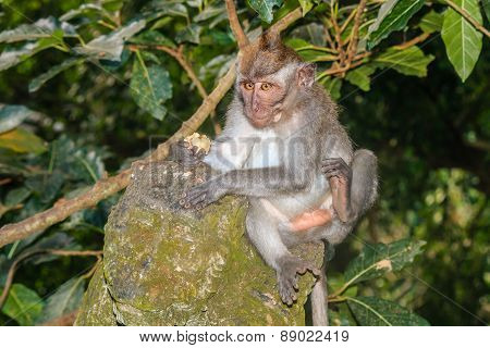 Crab Eating Macaque On A Statue