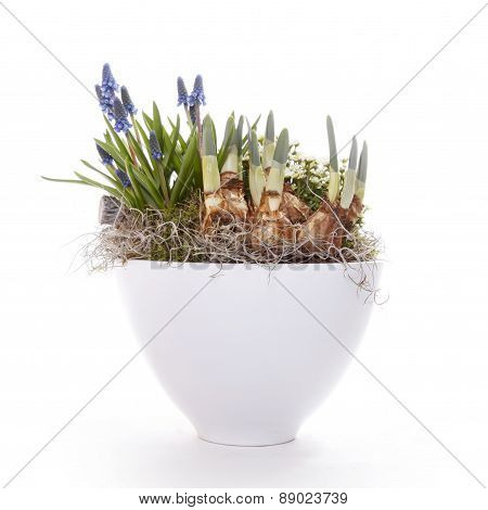 Spring Bulbs And Flowers In Pot