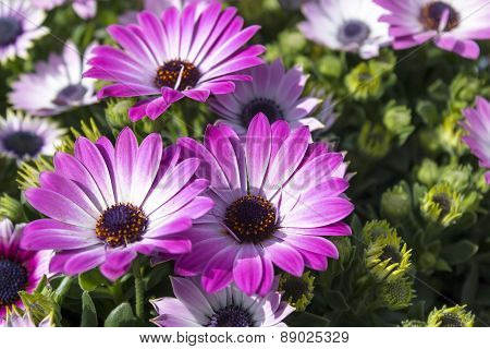 Three Pink Chrysanthemums On Sunny Spring Day