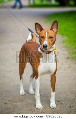Basenji Dog Walking Outside