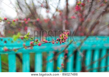 Branch Of The Cherry Blossoms Near Fence. Spring Garden