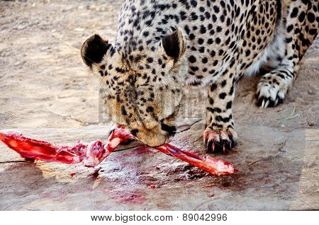 Cheetah Eating Raw Meat