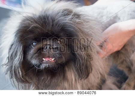 Grooming Of The Pekingese Dog
