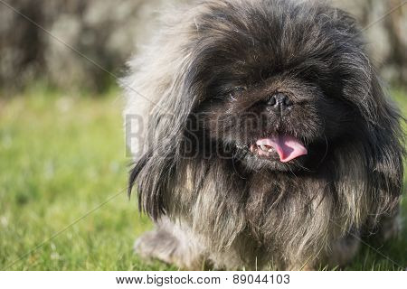 Closeup Of The Pekingese Dog