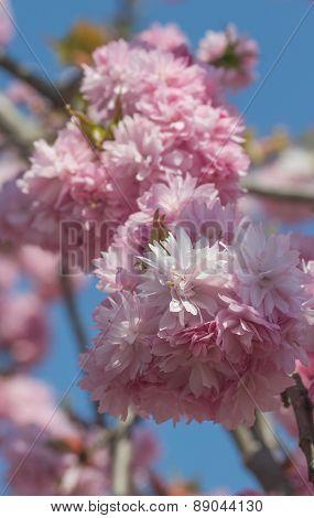 Blooming Sakura In Pink Color