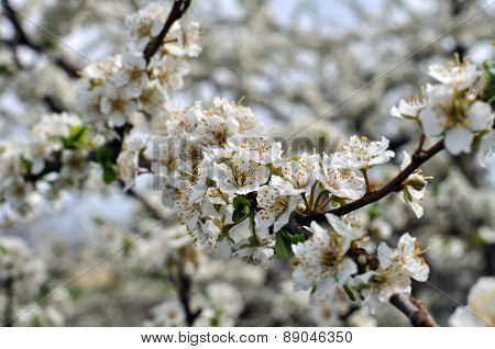 Blooming Plum Tree