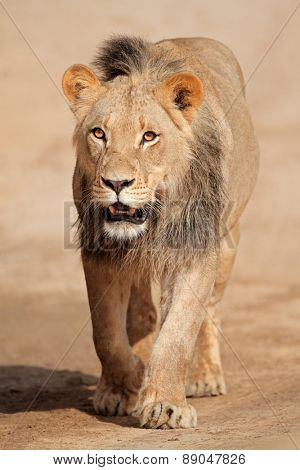 Male African lion walking (Panthera leo), Kalahari desert, South Africa
