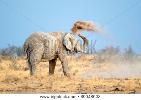 Mud covered African elephant (Loxodonta africana) throwing dust, Etosha National Park, Namibia