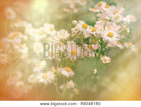 Spring in meadow - daisy flower