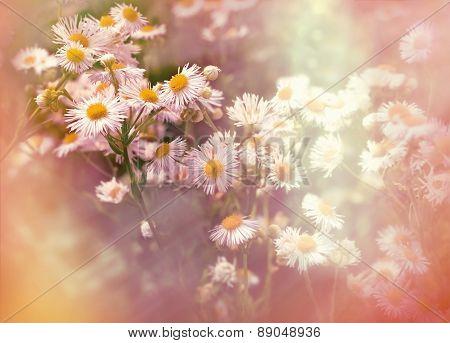 Daisy flowers lit by sun rays