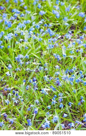 Scilla Sibirica. Bright Blue Spring Flowers Vertical Background
