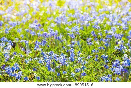 Scilla Sibirica. Bright Blue Spring Flowers Background.